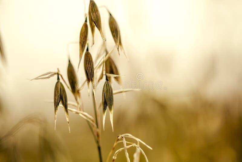 英亩的燕麦植物在夏天 免版税库存照片