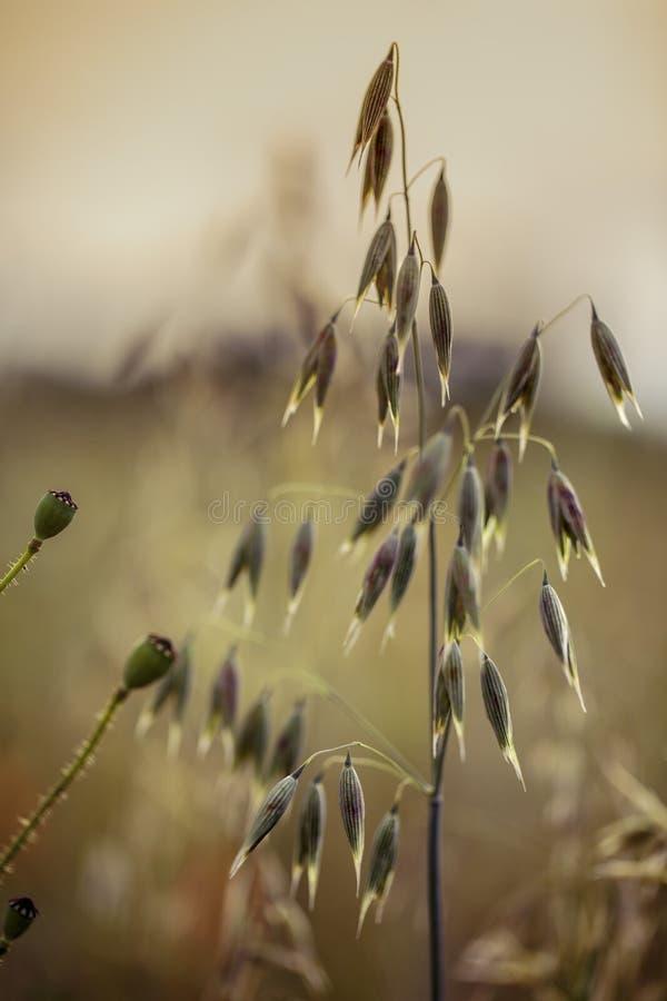 英亩的燕麦植物在夏天 库存照片