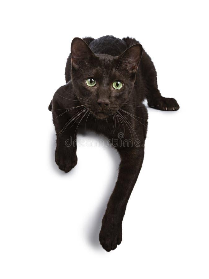 英俊的幼小成人哈瓦那布朗猫,隔绝在白色背景 免版税库存图片