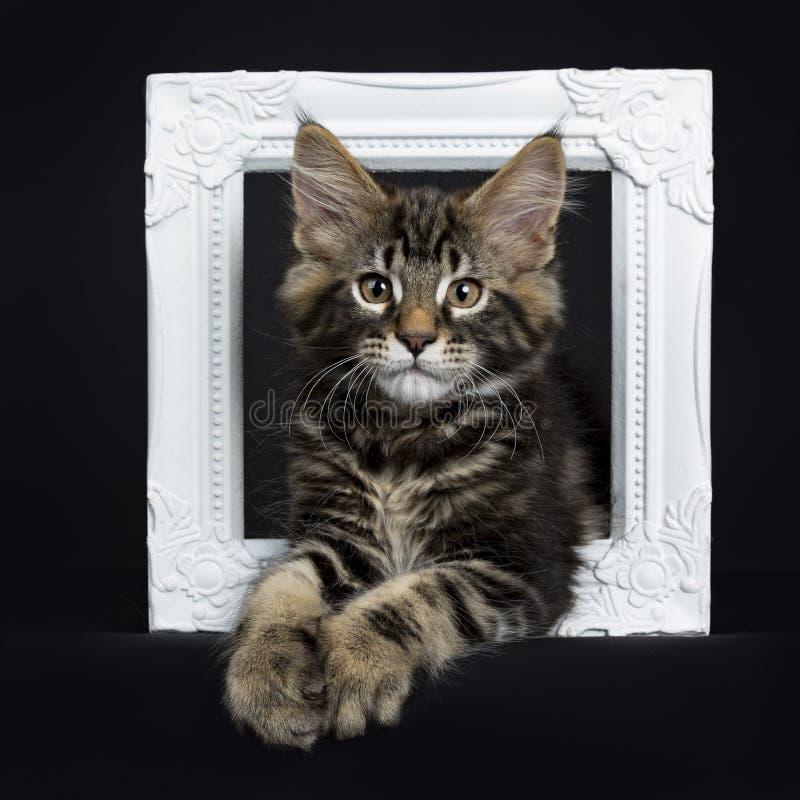 英俊的黑平纹缅因树狸猫 免版税库存照片