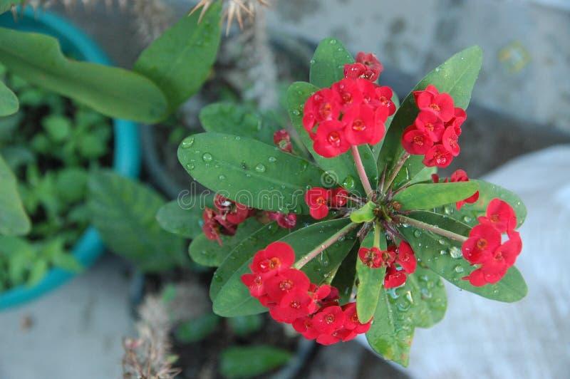 英国兰开斯特家族族徽、红色花和绿色叶子理想的关闭背景的 库存图片