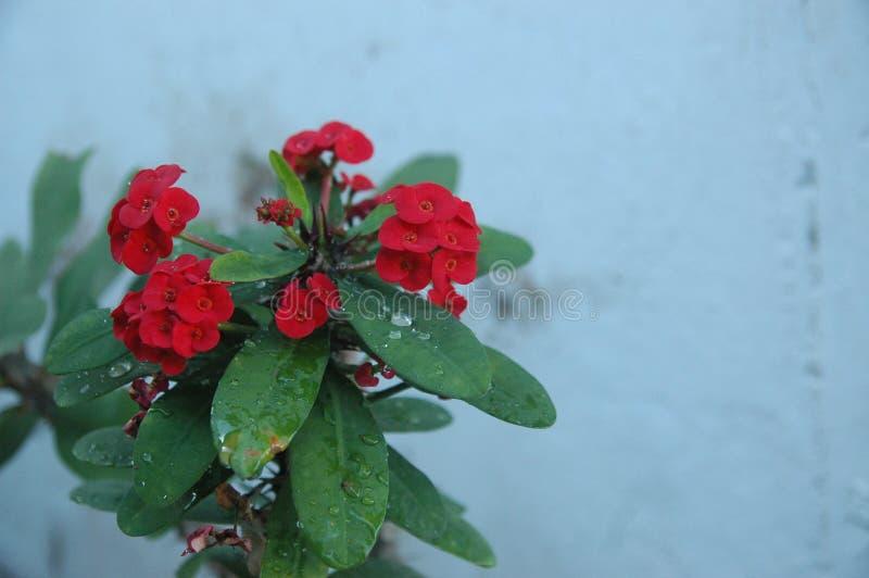 英国兰开斯特家族族徽、红色花和绿色叶子理想的关闭背景的 图库摄影