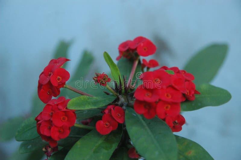 英国兰开斯特家族族徽、红色花和绿色叶子理想的关闭背景的 库存照片