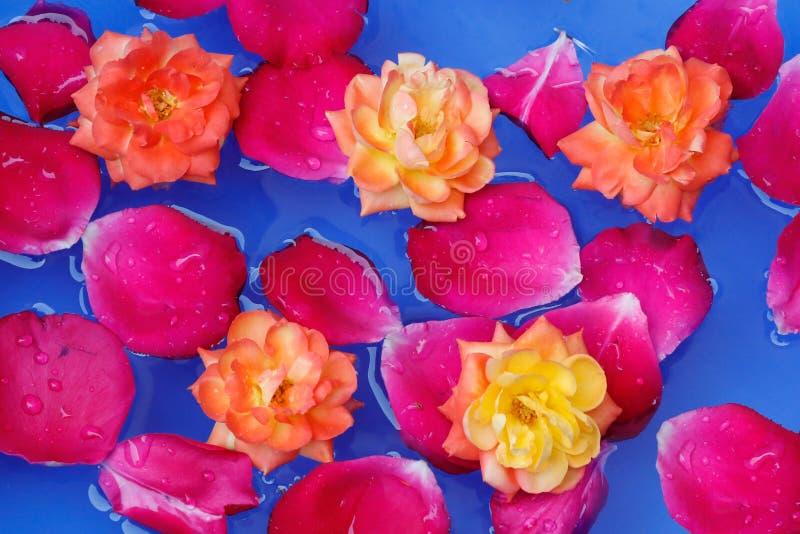英国兰开斯特家族族徽瓣在与黄色玫瑰的水中美好的背景 免版税库存图片