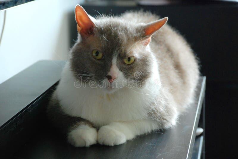 英国品种谎言和姿势大灰色猫照相机的 免版税库存照片