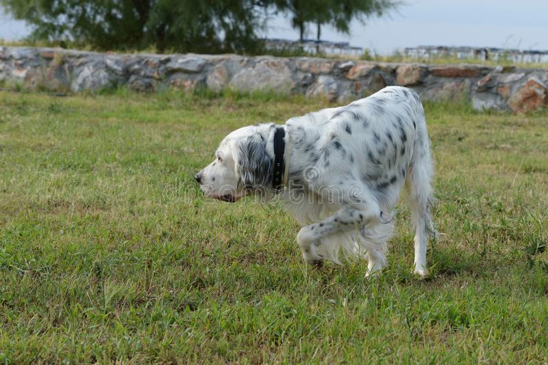 英国塞特种猎狗,安装员 库存图片