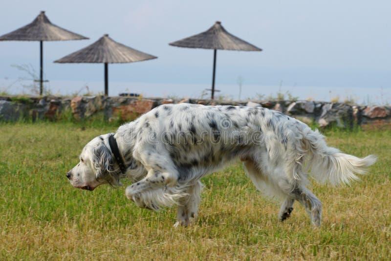 英国塞特种猎狗,安装员 免版税图库摄影