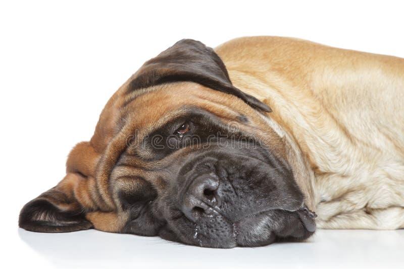 英国大型猛犬休眠 库存图片