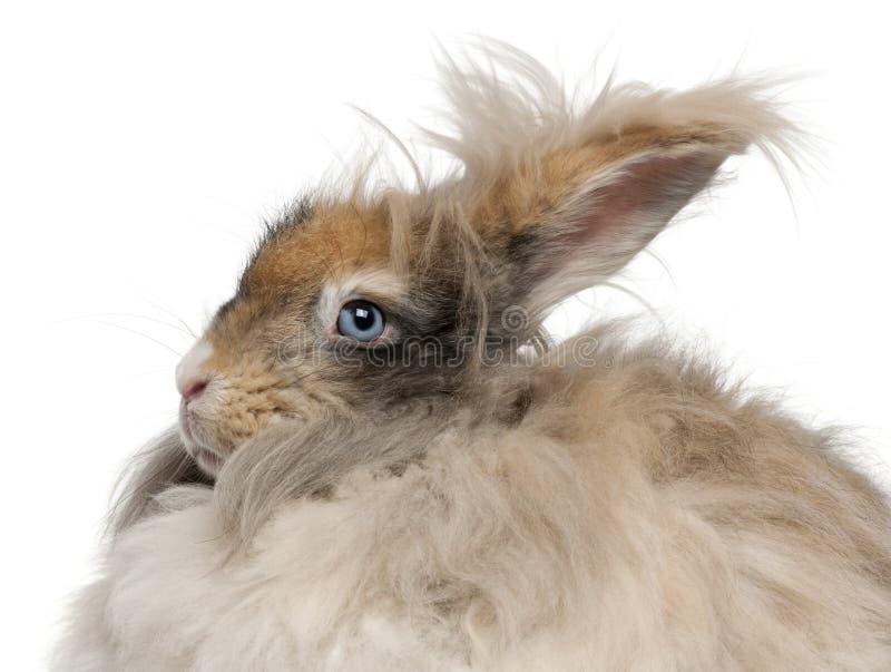 英国安哥拉猫兔子特写镜头在白色背景前面的 免版税库存照片