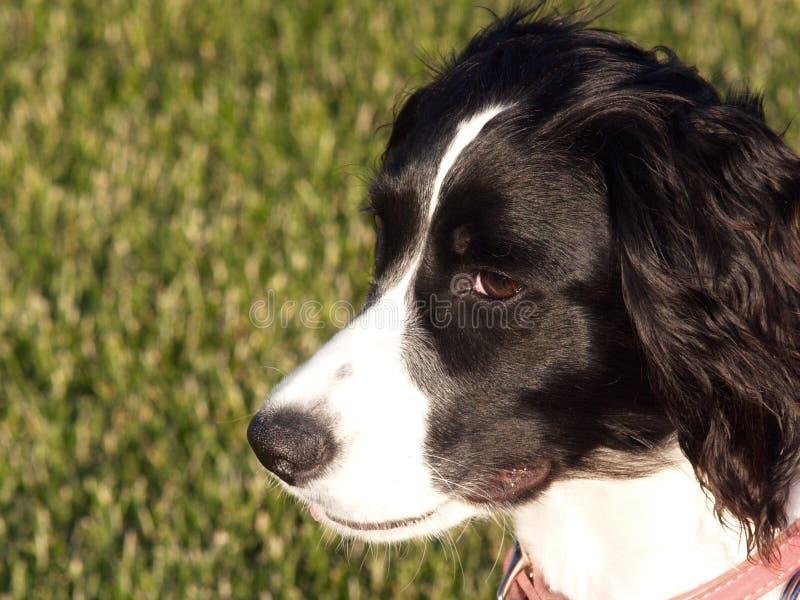 英国小狗西班牙猎狗蹦跳的人 免版税库存照片