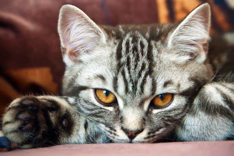 英国小猫平纹 库存图片