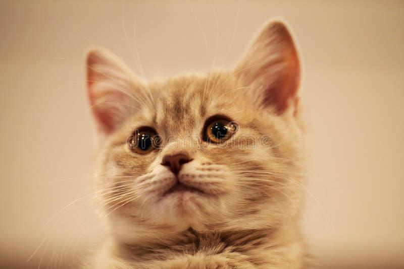 英国小猫 免版税图库摄影