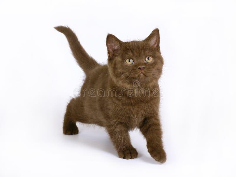 英国巧克力小猫 免版税库存图片
