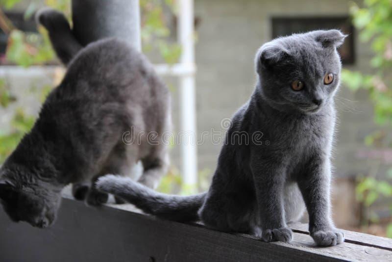 英国折叠耳朵全部赌注和猫 库存图片