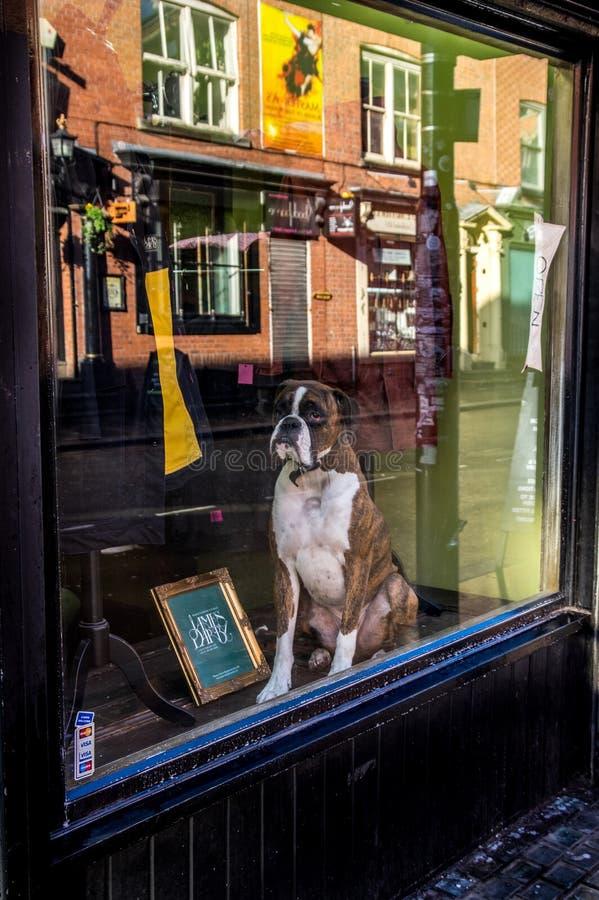英国拳击手狗在曼彻斯特商店窗口里坐 免版税库存图片