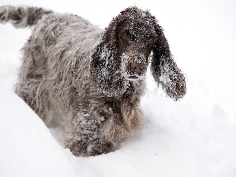 英国斗鸡家乐于新近地下落的雪 免版税库存照片