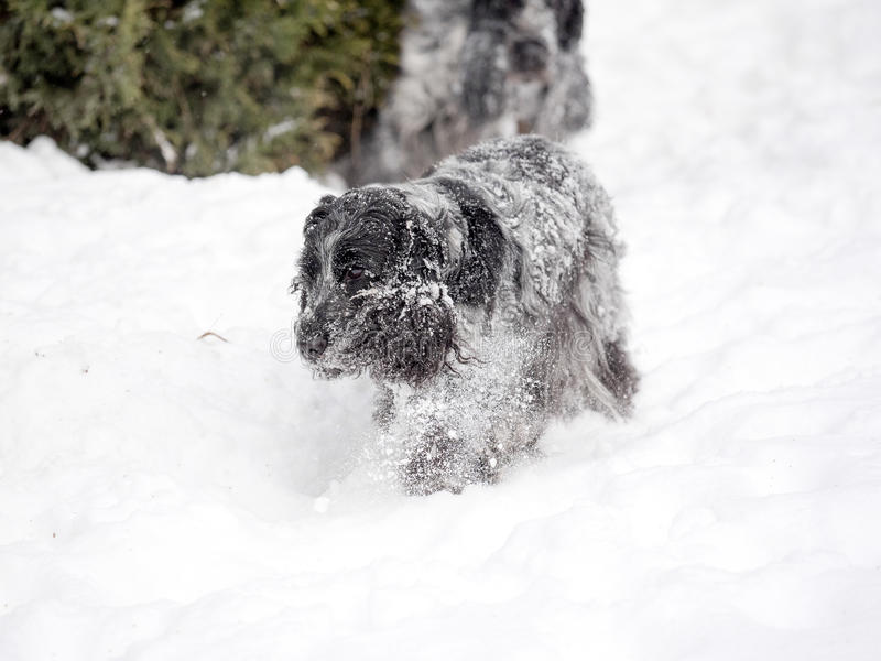 英国斗鸡家乐于新近地下落的雪 免版税库存图片