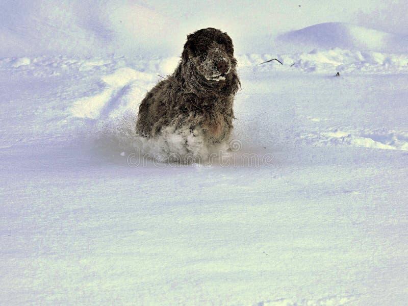 英国斗鸡家乐于新近地下落的雪 库存照片