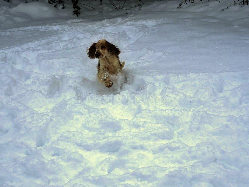 英国斗鸡家乐于新近地下落的雪 库存图片