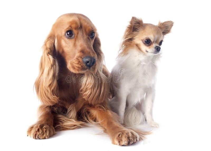 英国斗鸡家和奇瓦瓦狗 免版税库存图片