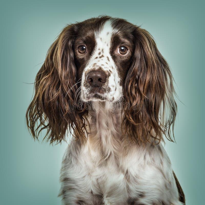 英国斯伯林格西班牙猎狗特写镜头反对绿色背景的 图库摄影