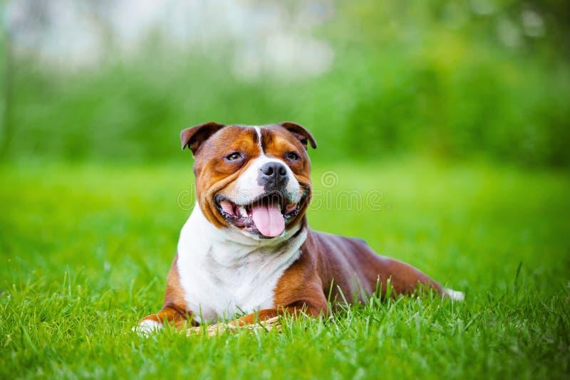 英国斯塔福德郡杂种犬狗 免版税库存图片