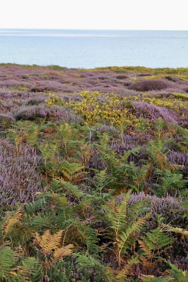 英国欧石南丛生的荒野 库存图片