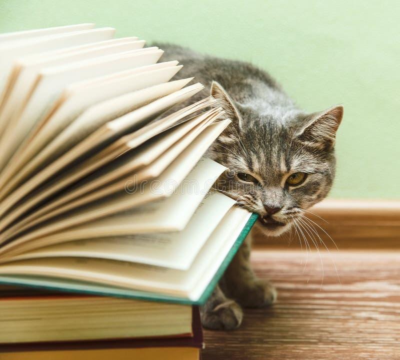 英国灰色猫咬住开放书,在木地板上的滑稽的宠物,被定调子 库存照片
