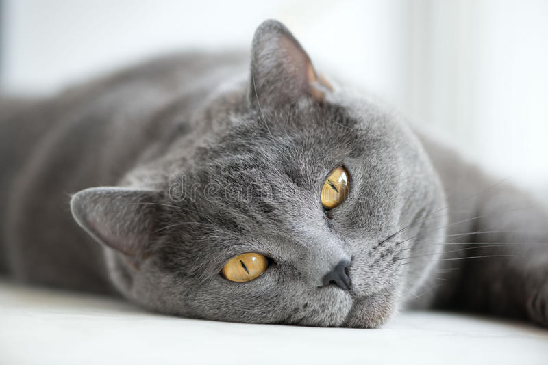 英国灰色猫说谎在窗口的,特写镜头 图库摄影