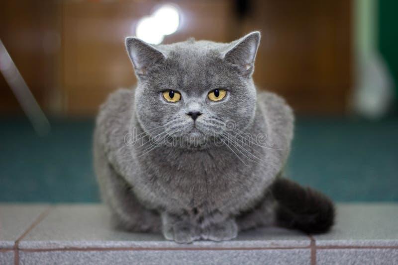 英国灰色美丽的猫 免版税库存图片