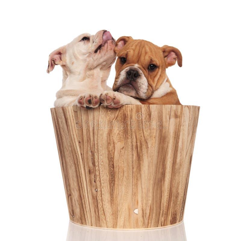 英国牛头犬小狗在木里面的兄弟附近舔它的鼻子 库存图片