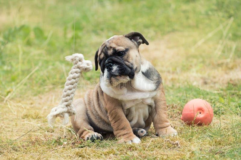 英国牛头犬小狗画象2个月坐在两个玩具之间的草 免版税库存图片