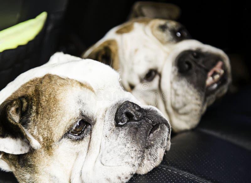 英国牛头犬狗 图库摄影