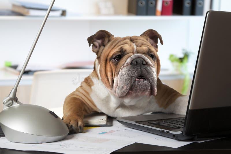英国牛头犬在办公室 库存图片