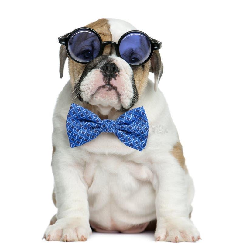 英国牛头犬小狗佩带的玻璃和蝶形领结 免版税库存图片