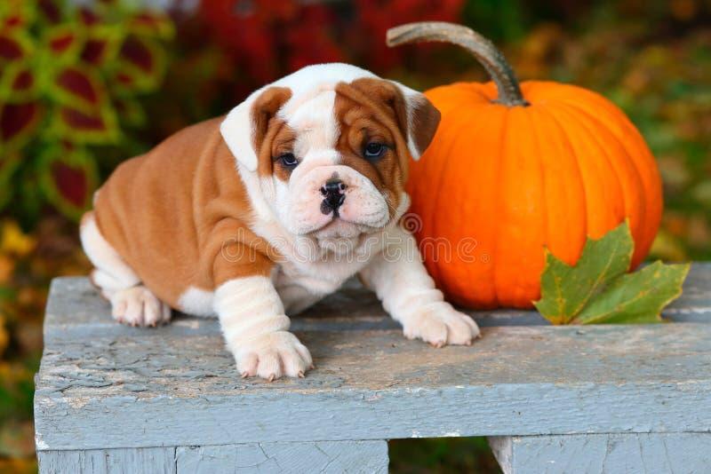 英国牛头犬小狗坐庭院长凳用南瓜 免版税库存图片