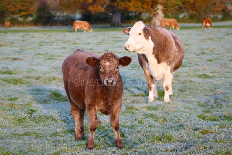 英国牛 库存图片