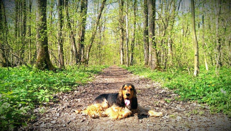 英国猎犬在伯尼亚萨森林里 库存照片