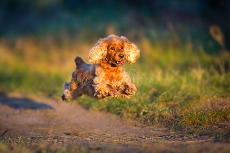 英国猎犬奔跑 库存照片