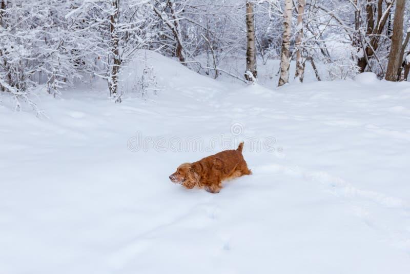 英国猎犬狗画象在冬天 免版税图库摄影