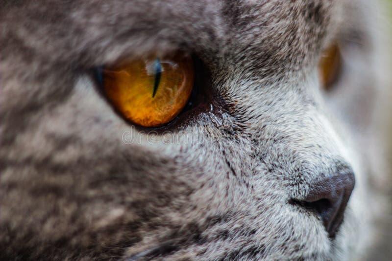 英国猫在整个银幕面对 库存图片