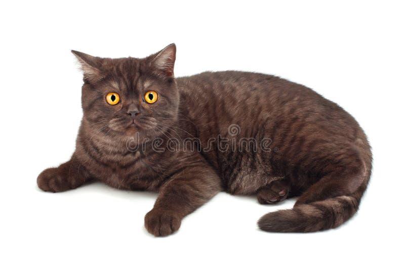 英国猫巧克力 免版税库存照片