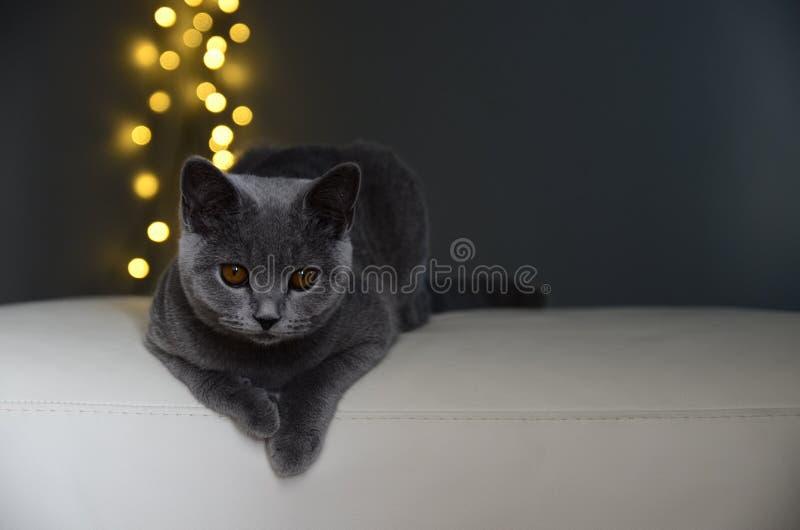 英国猫灰色白色黄色 免版税库存照片