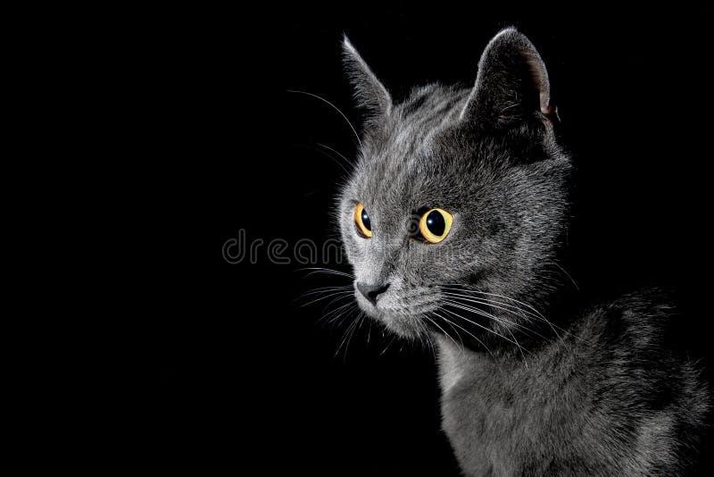 英国猫shorthair 库存照片