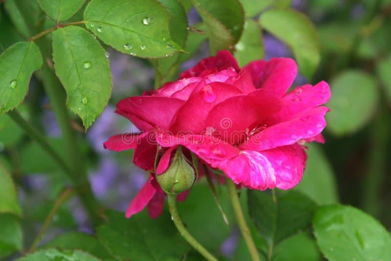 英国玫瑰园 库存照片