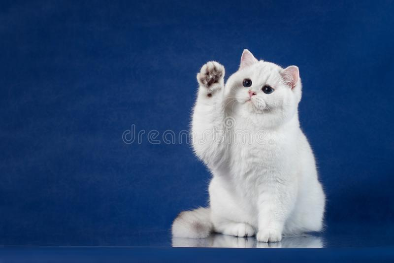 英国白色与不可思议的蓝眼睛的shorthair嬉戏的猫举起他的爪子,象问好 坐英国的小猫  免版税库存图片