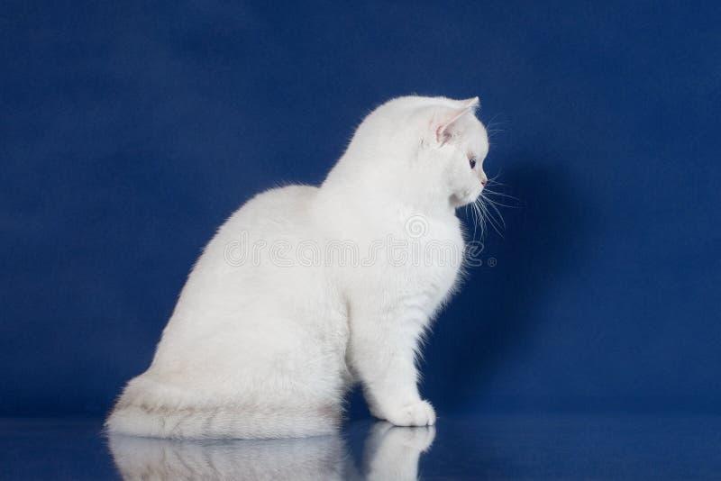 英国白色与不可思议的蓝眼睛的shorthair幼小猫,在蓝色背景的英国小猫坐的外形与 免版税库存图片
