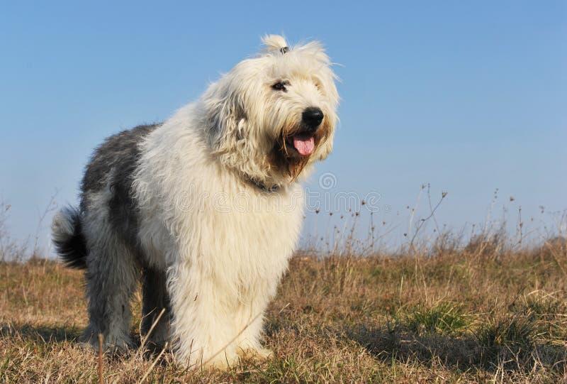 英国老护羊狗 库存照片