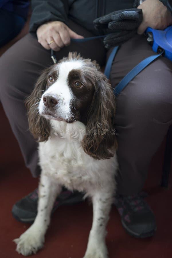 Download 英国西班牙猎狗蹦跳的人 库存照片. 图片 包括有 比赛, 宠物, 柔和, 英语, 交配动物者, 朋友, 狩猎 - 72368066