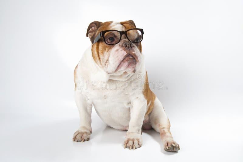 英国视觉的牛头犬佩带的玻璃 免版税库存照片